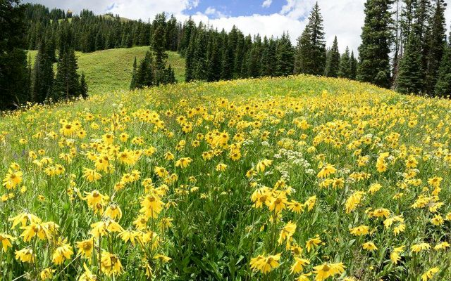 A grassy hillside covered in yellow flowers.