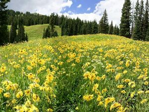 A field of yellow wildflowers in Colorado.