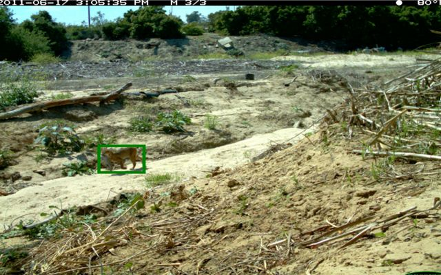 Wildlife camera photo with a green box drawn around the animal in the photo, either a bobcat or lynx.