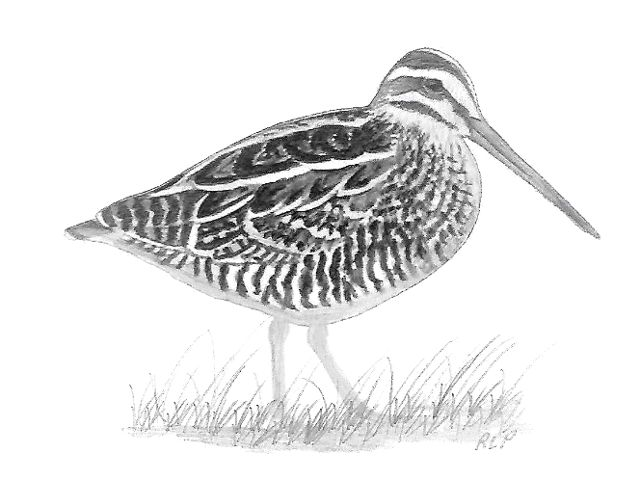Charcoal drawing of a Wilson's snipe