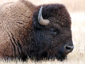 A lone shaggy brown bison stands on an open plain of short brown grass.