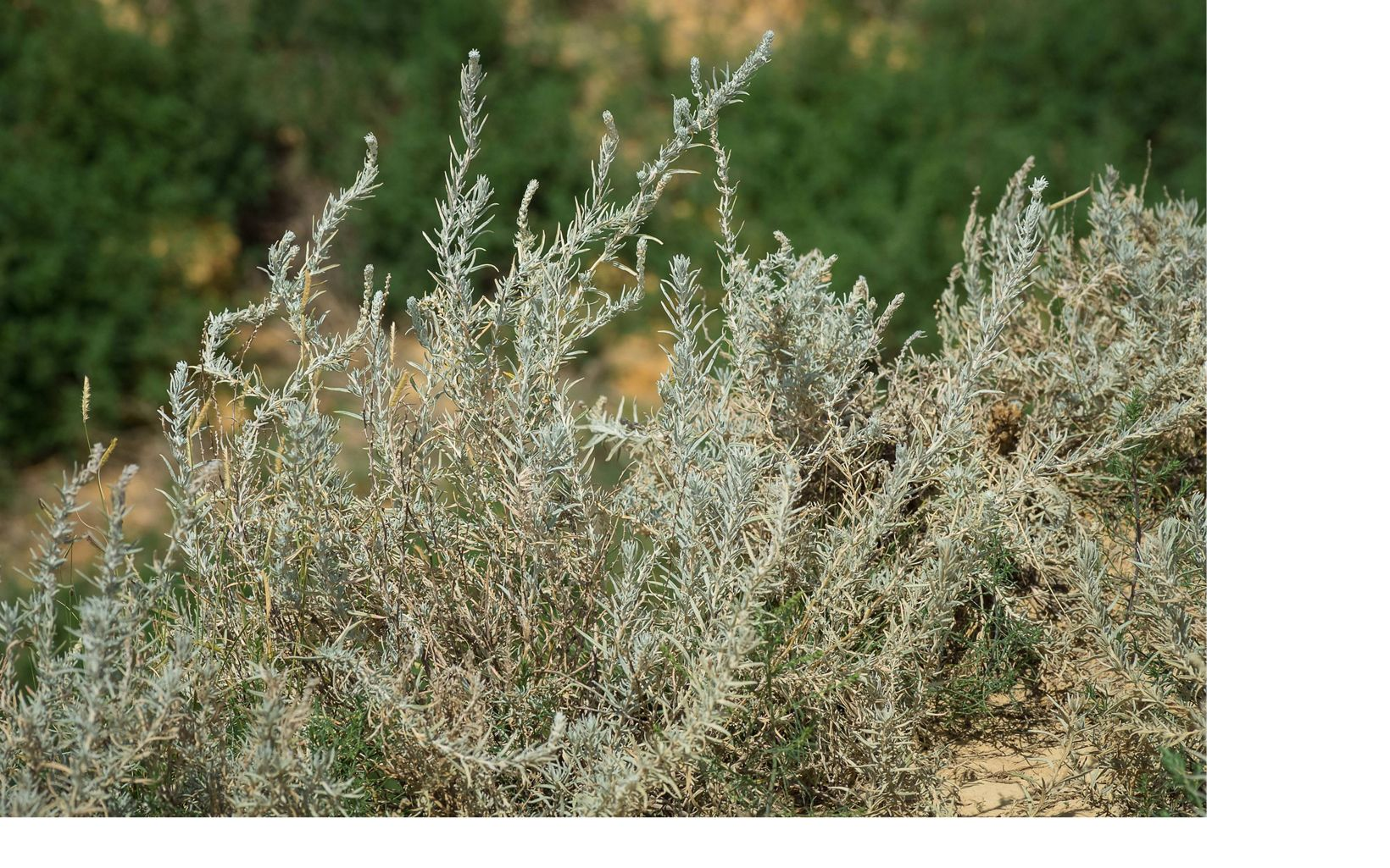 (Krascheninnikovia lanata) is a rare find in Kansas except at Little Jerusalem. After going to seed, the 'fluffy' white shrub is valuable forage for wildlife in harsh winters.
