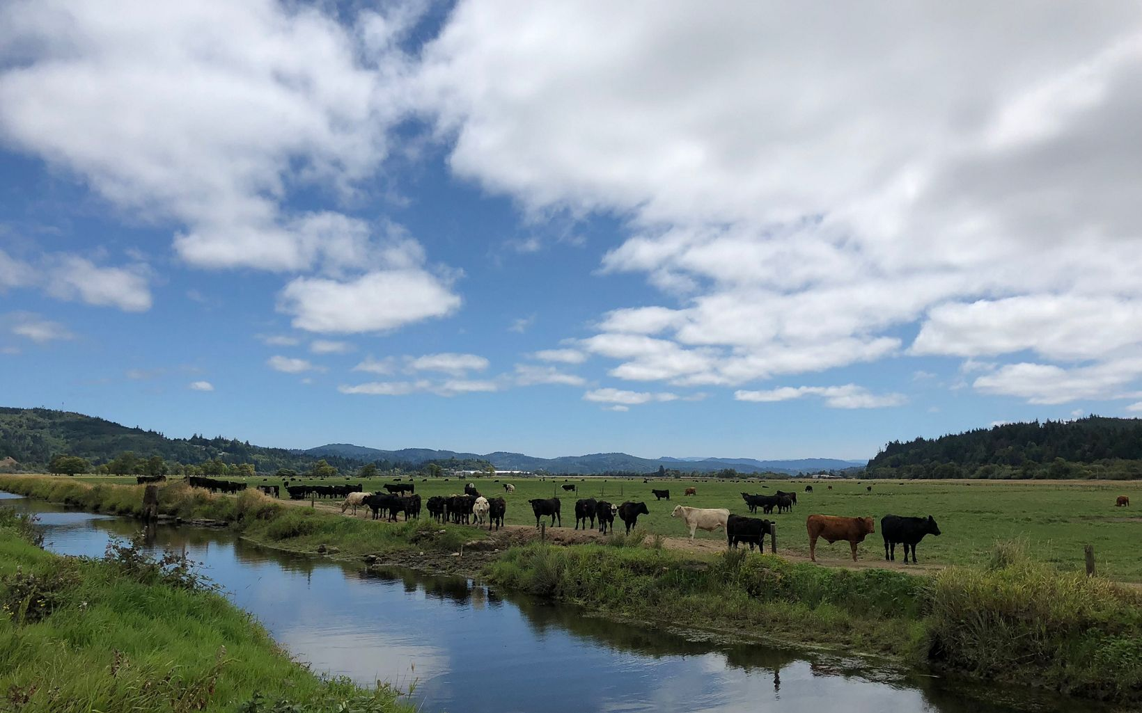 Cows graze near the Coquille River in Oregon