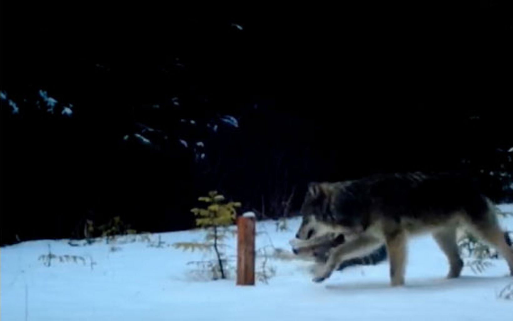 Screenshot from trail camera footage of  wolves in Alaska.