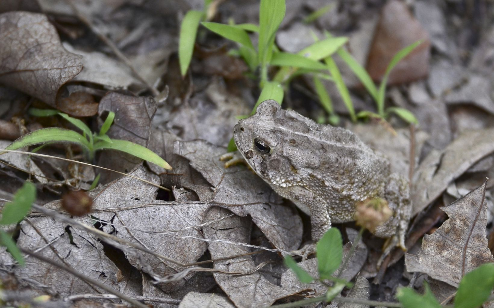 Nearly camouflaged among the leaves, the woodhouse toad sits patiently.