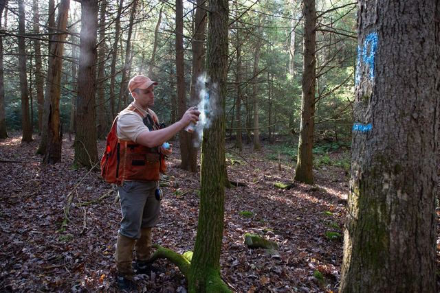 A forester wearing a red vest uses spray paint to mark a tree in the forest. A tree in the foreground has already been tagged with a blue paint mark.
