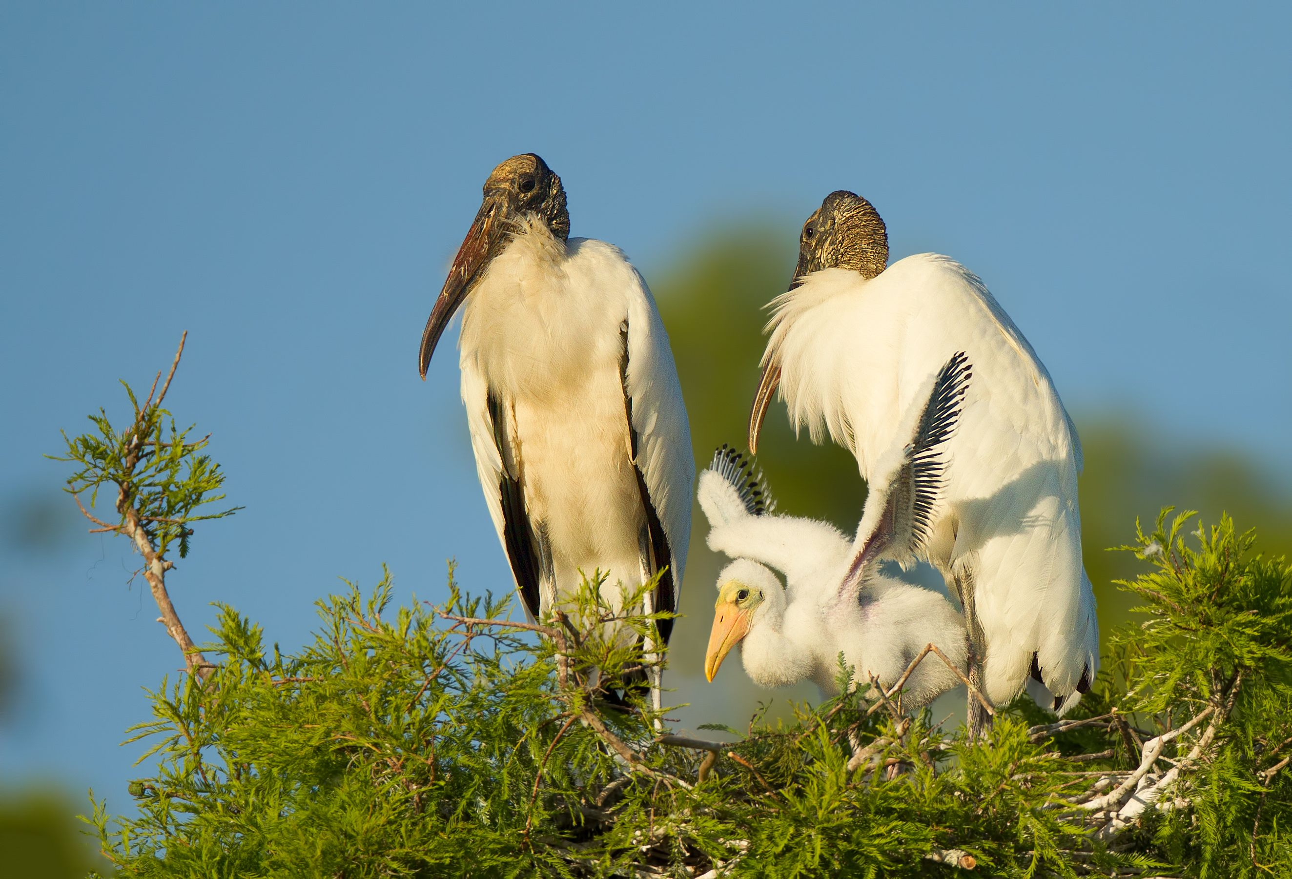Wood stork parents in the nest with a young stork.