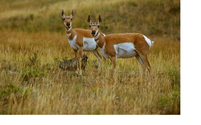 Two pronghorn standing together in the tallgrass prairie.