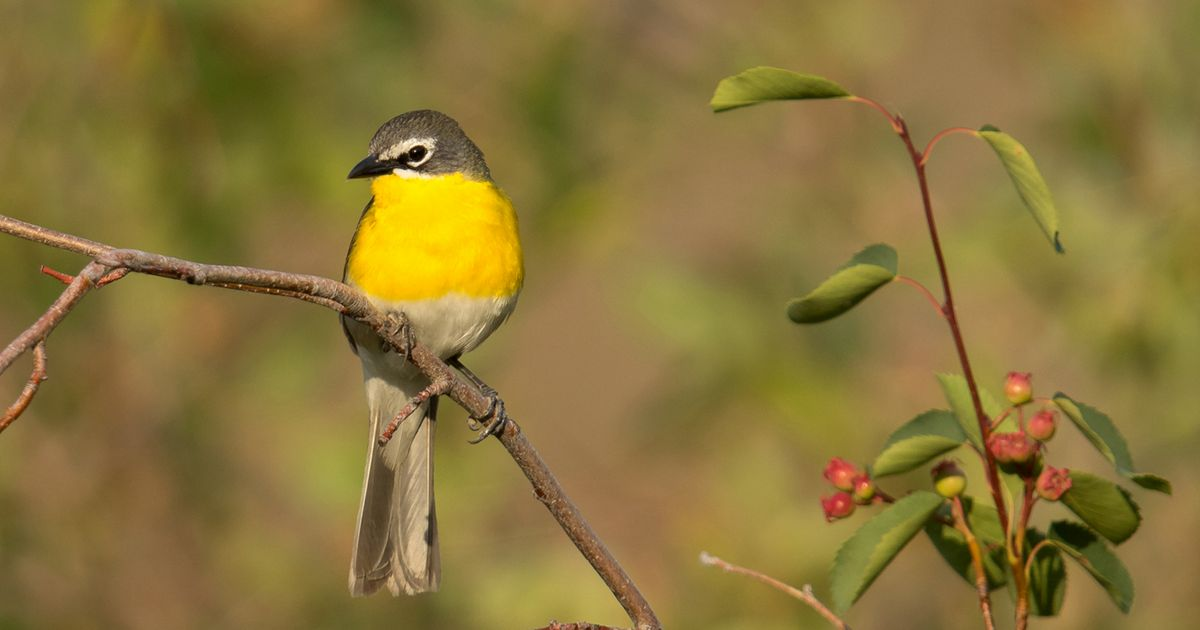 The Yellow-breasted Chat offers a cascade of song in the spring, when males deliver streams of whistles, cackles, chuckles, and gurgles.