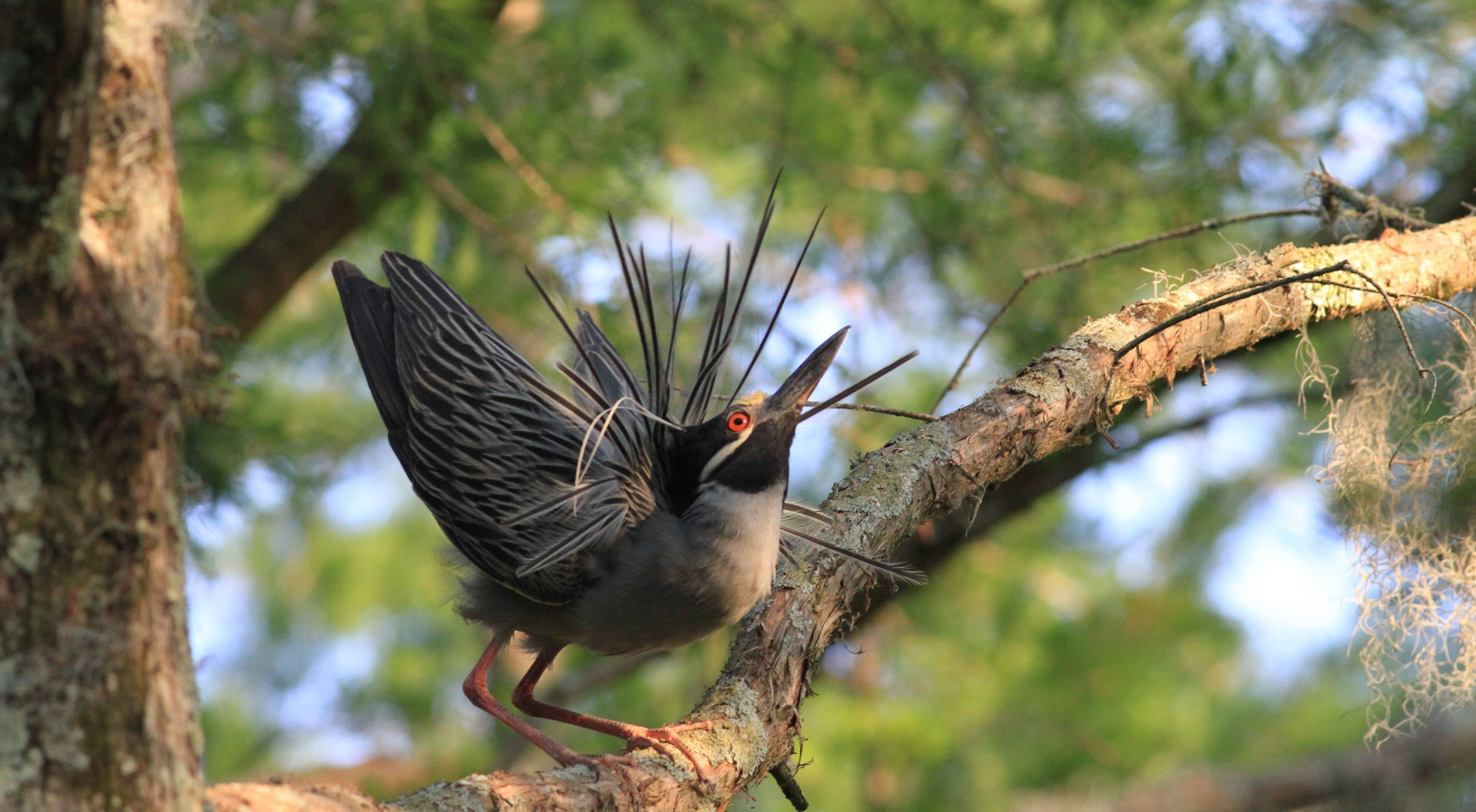 A yellow-crowned night heron displays its breeding plumage at Cypress Island Preserve in Louisiana.