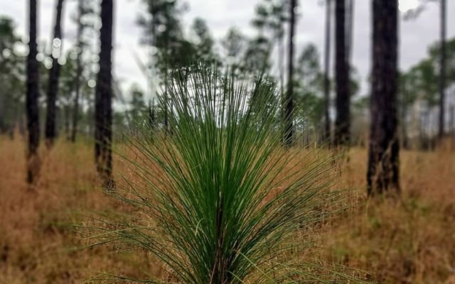 Young Longleaf Pine