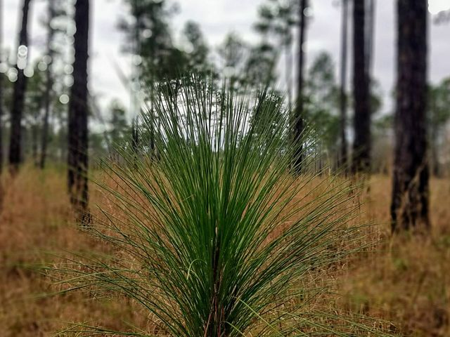 A young longleaf pine tree emerges from the forest floor.