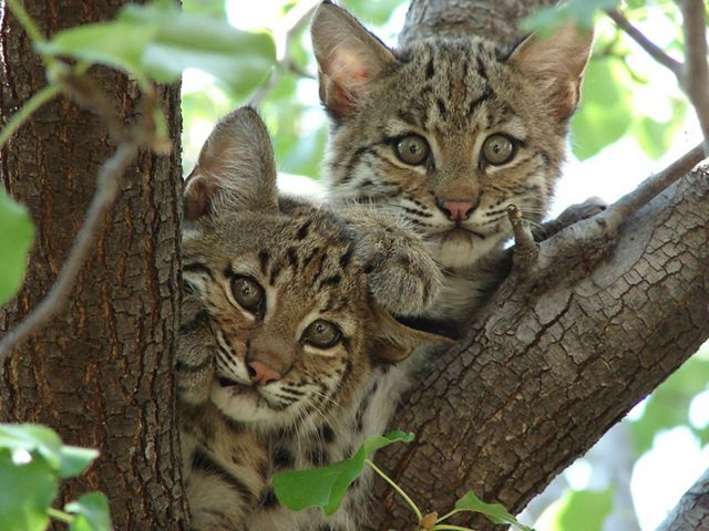 Two bobcat kittens in a tree looking at the camera.