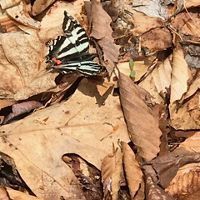 A black and white butterfly rests on dry leaves.