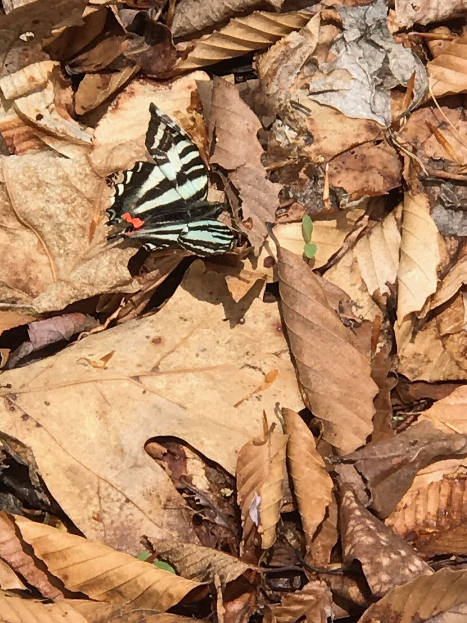 Zebra swallowtail butterfly on a pile of leaves.