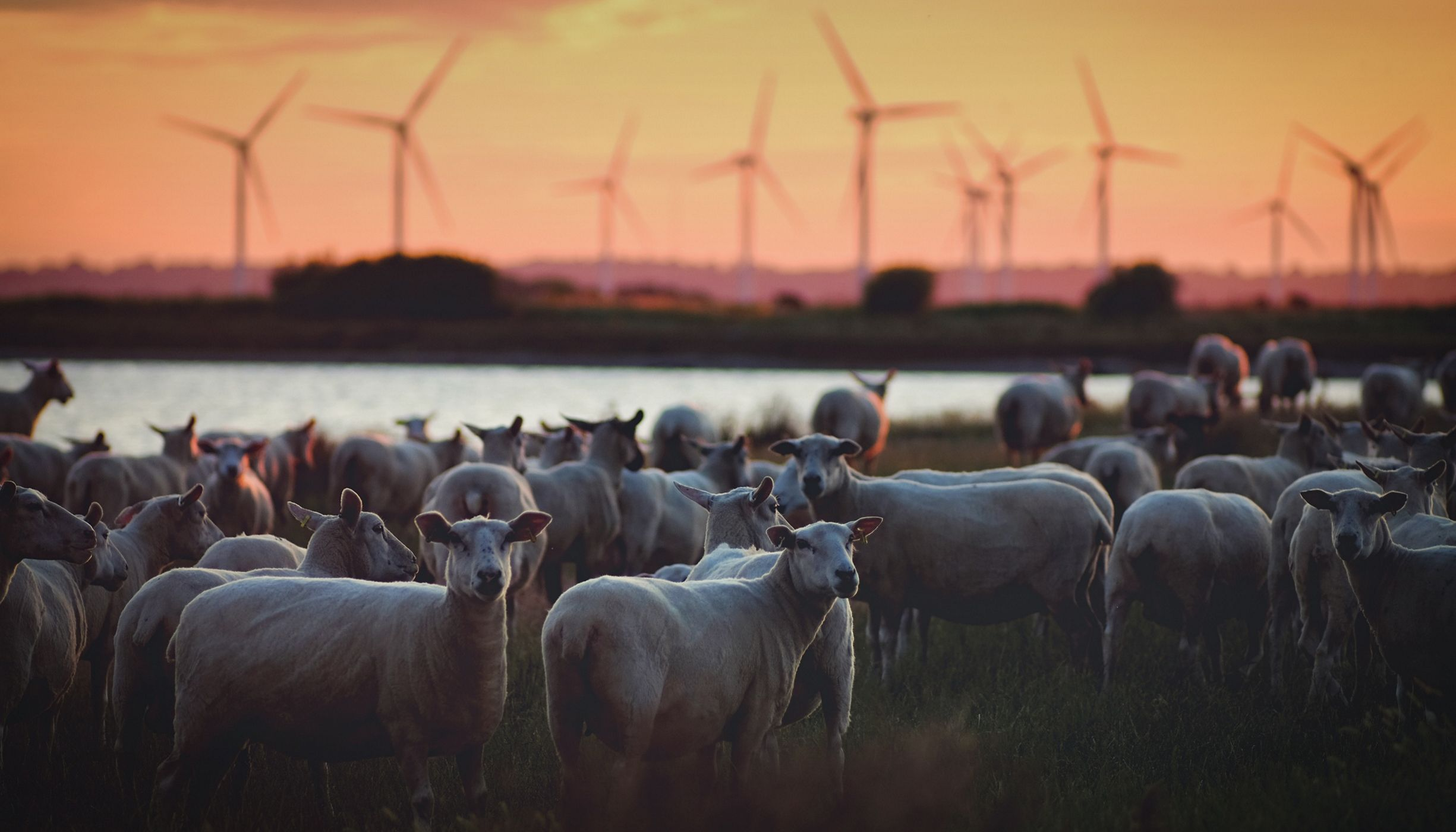 Sheep in a field with wind turbines in the background