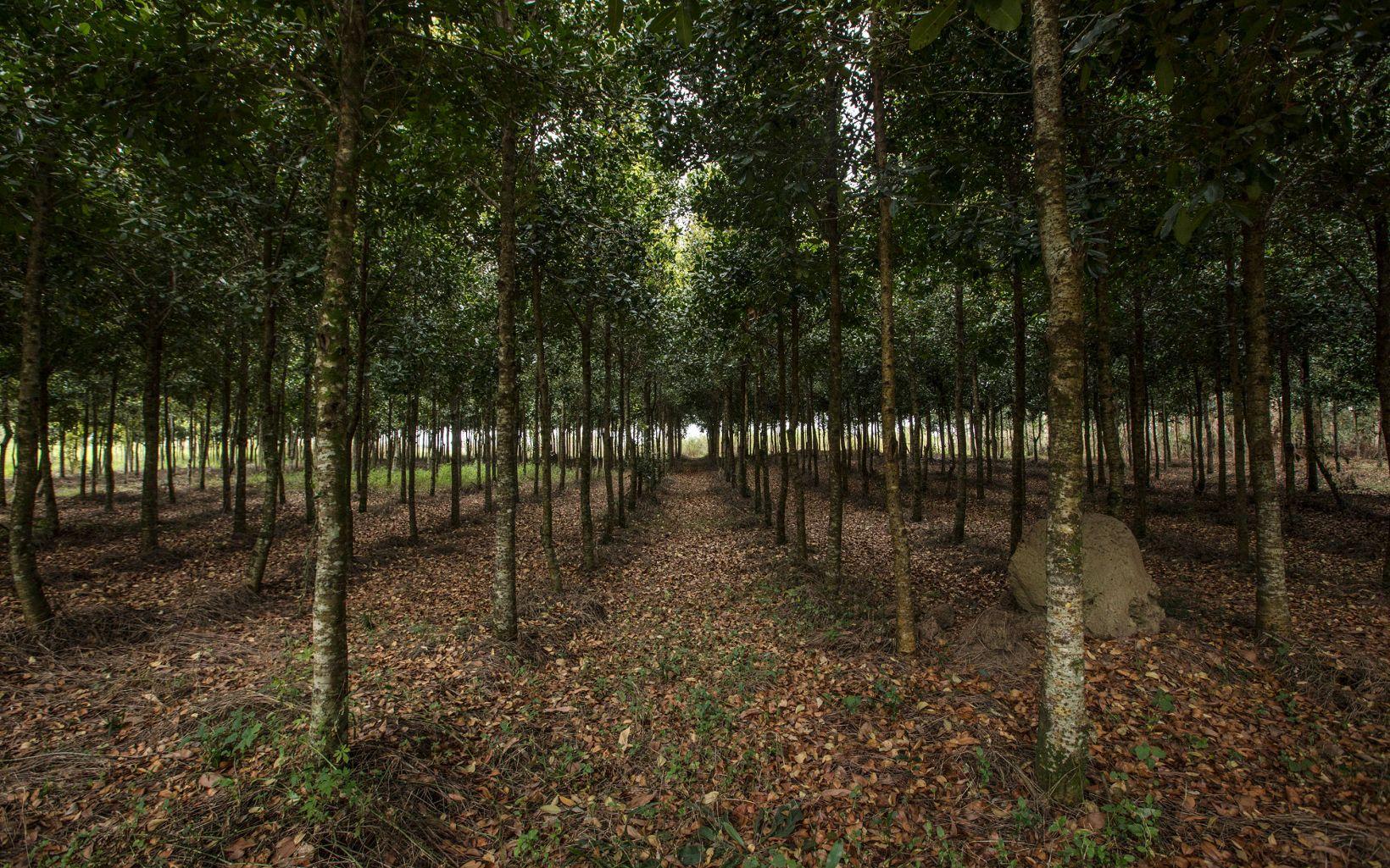Plantation of Guanandí