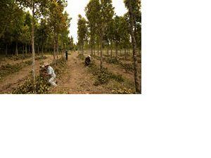 Tree planting in Brazil