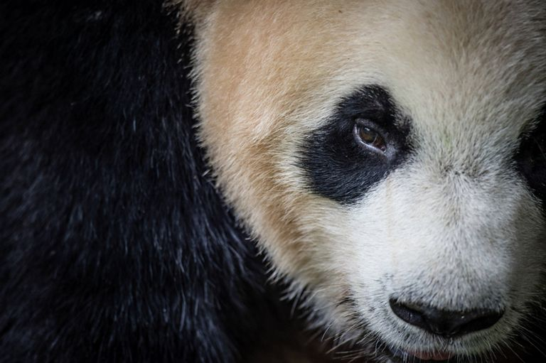Panda looking into the camera.