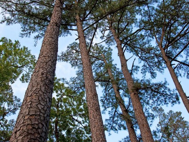 (ALL RIGHTS) Shortleaf pines at Lennox Woods Preserve, May 2010. Photo credit: © Greg Dimijian